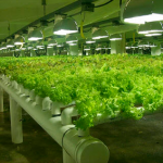 Sunmaster grow lamps in use at an indoor lettce farm